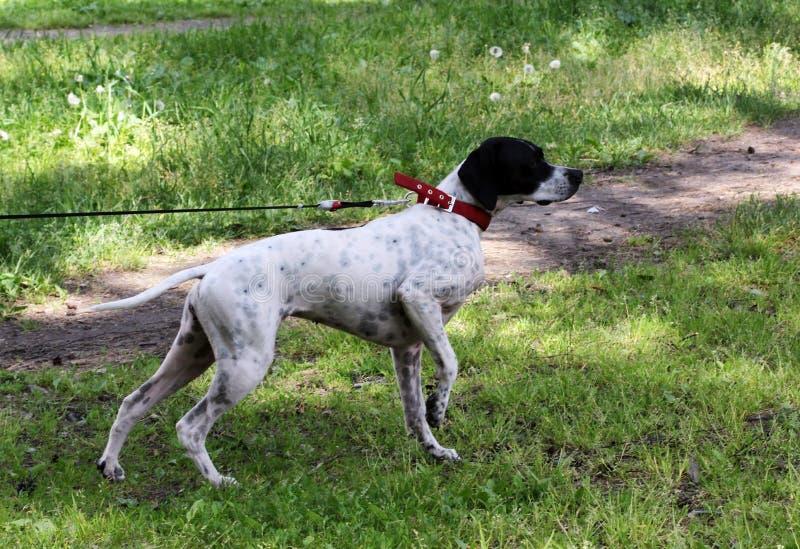 O ponto do cão do setter rapina em pombos no parque, fazendo a cremalheira foto de stock royalty free