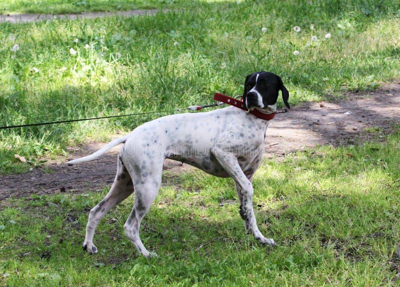 O ponto do cão do setter rapina em pombos no parque, fazendo a cremalheira imagens de stock