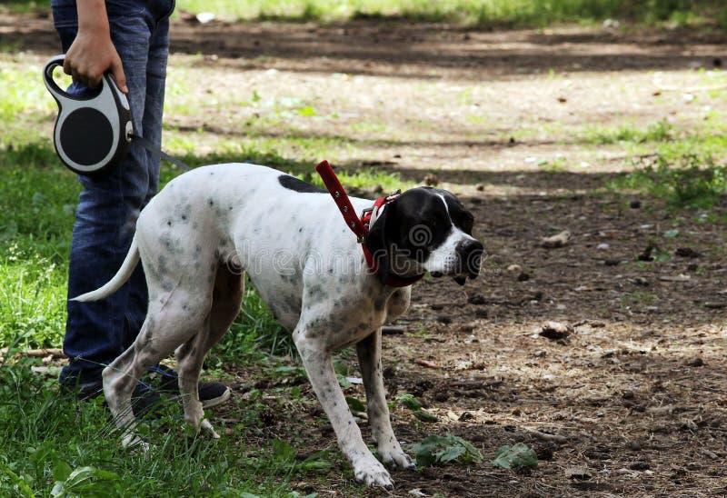 O ponto do cão do setter rapina em pombos no parque, fazendo a cremalheira fotografia de stock