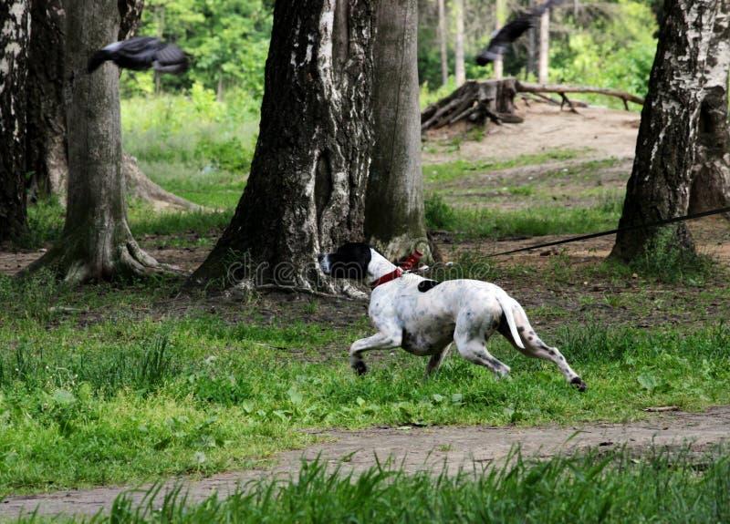 O ponto do cão do setter rapina em pombos no parque, fazendo a cremalheira imagem de stock
