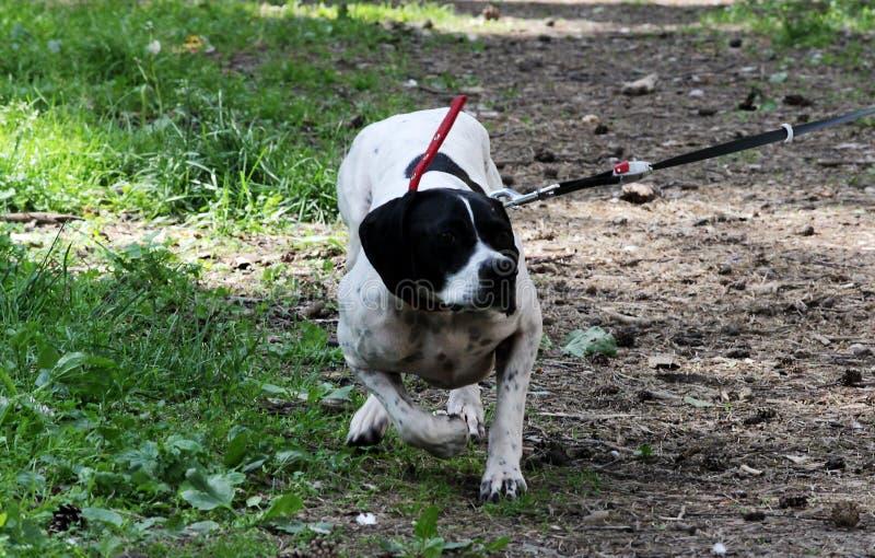 O ponto do cão do setter rapina em pombos no parque, fazendo a cremalheira imagens de stock royalty free