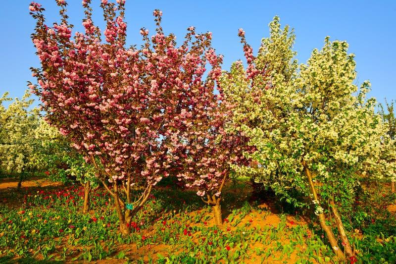 O por do sol de florescência de sakura imagens de stock royalty free