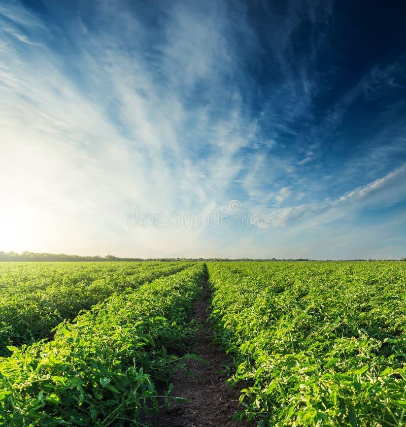o por do sol no céu azul sobre tomates agrícolas coloca fotos de stock royalty free