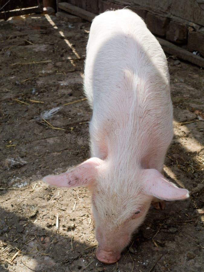 O porco imagem de stock