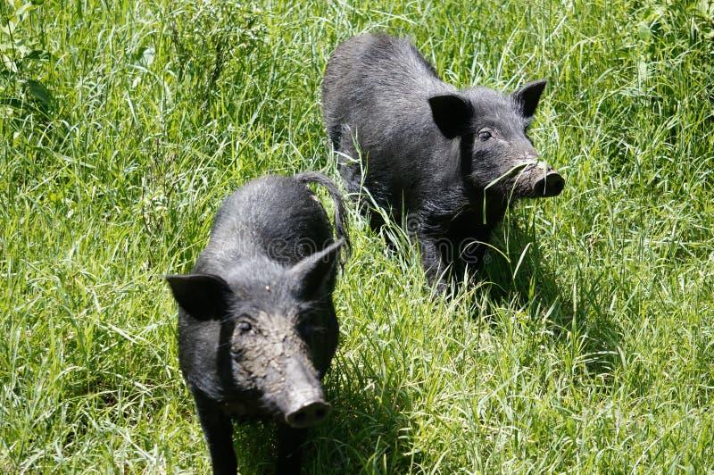O porco fotos de stock