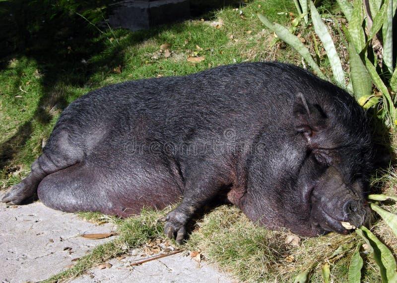 O porco do sono fotos de stock