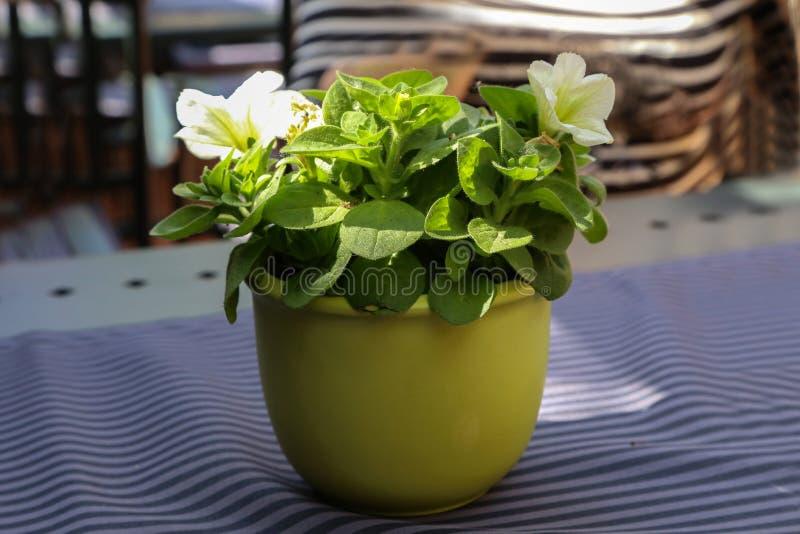 O potenciômetro das flores está na tabela foto de stock