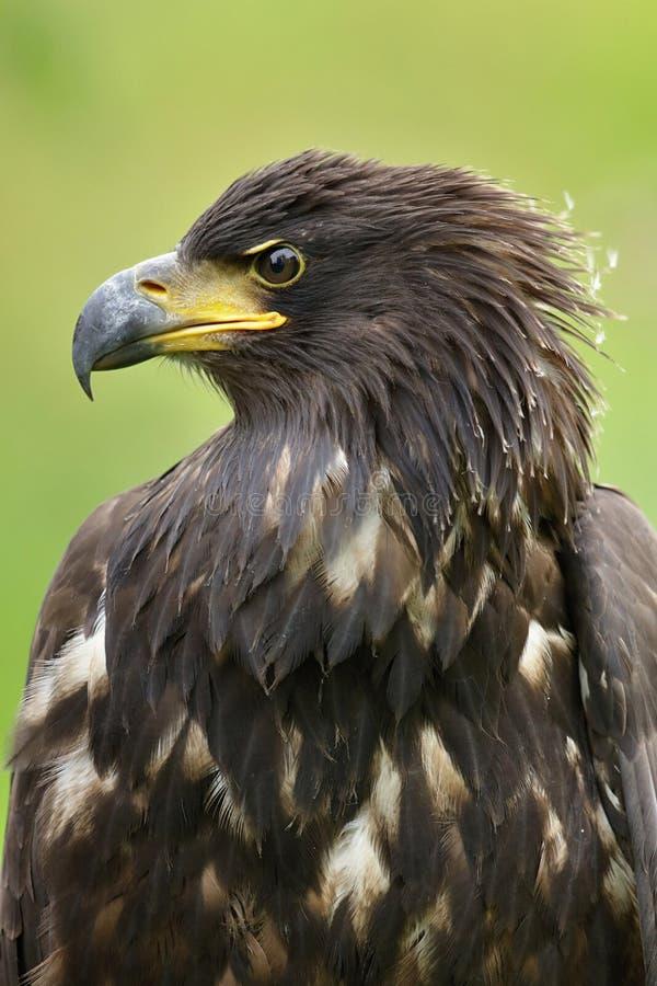 O potrait atado branco da águia fotografia de stock