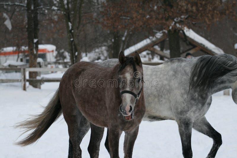 O potro árabe mostra a língua Neve do inverno imagem de stock royalty free