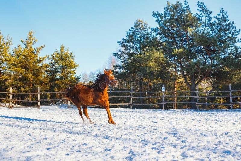 O potro árabe vermelho corre o galope ao longo da terra de parada no treinamento Está nevando, mas a mola veio fotografia de stock royalty free