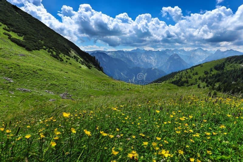 O prado alpino floresce a paisagem da montanha do verão Áustria, Tirol, área de Achensee imagem de stock