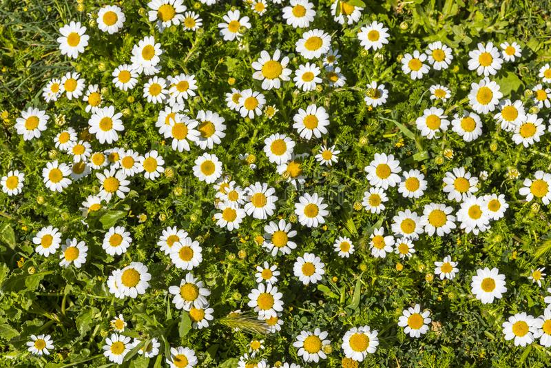 O prado com grama verde e a margarida branca floresce foto de stock