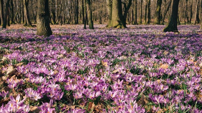 O prado do açafrão floresce na primavera a floresta fotos de stock