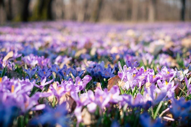O prado do açafrão floresce na primavera a floresta foto de stock