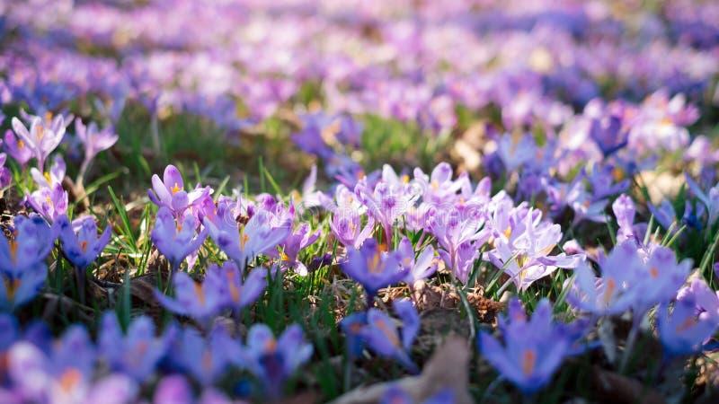 O prado do açafrão floresce na primavera a floresta fotografia de stock royalty free