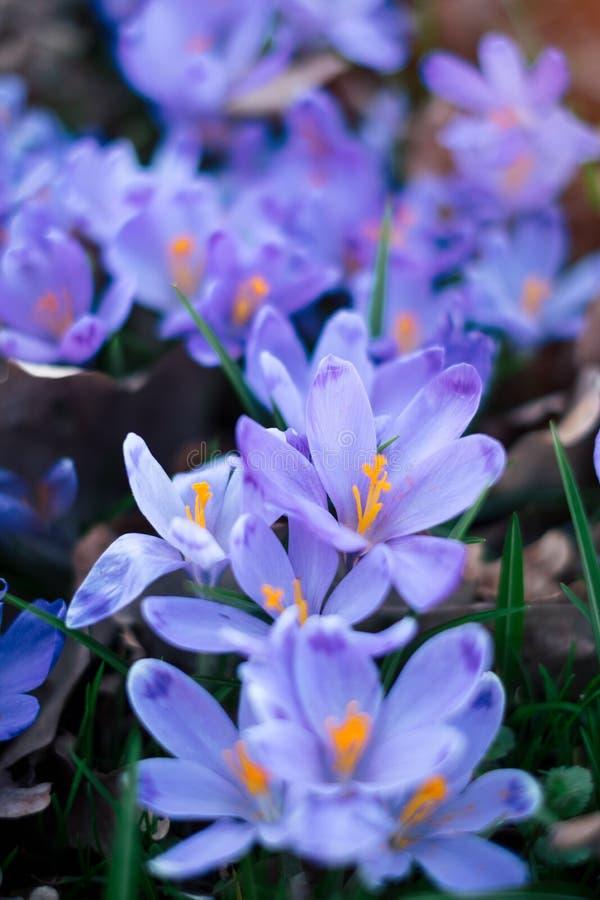 O prado do açafrão floresce na primavera a floresta imagem de stock