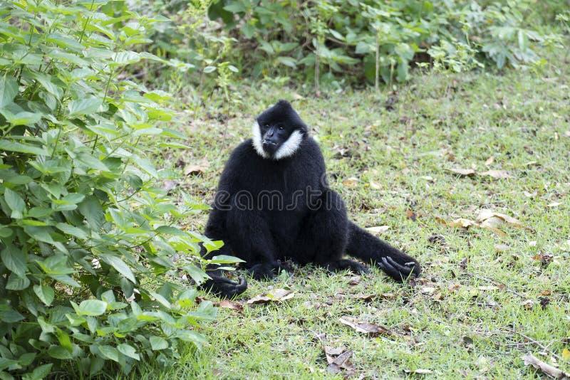 O preto entregou Gibbon imagens de stock royalty free