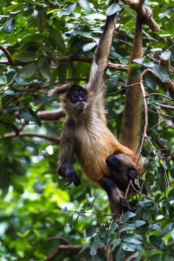 O preto entregou o macaco de aranha - geoffroyi do Ateles foto de stock royalty free
