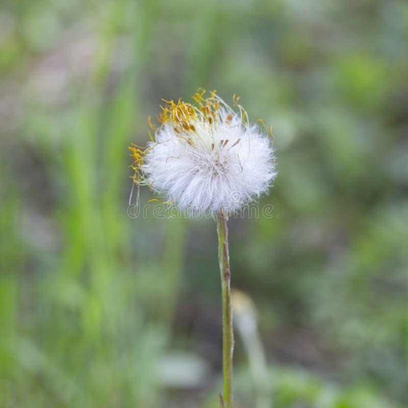 O primeiro foalfoot do coltsfoot da flor da mola macio com as sobras das pétalas secas está sozinho sobre a mola adiantada imagens de stock
