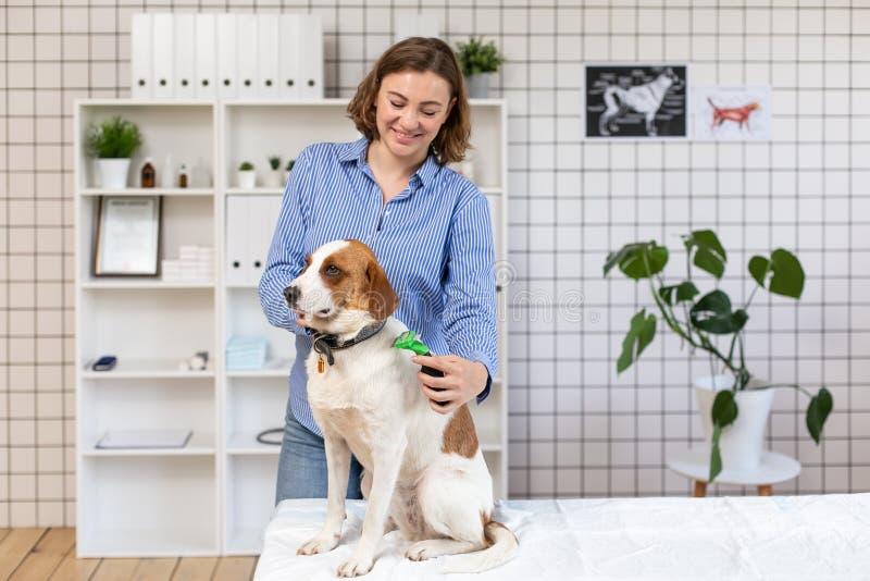 O procedimento de preparar cães em uma clínica veterinária foto de stock