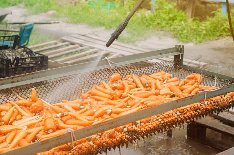 O processo de limpar cenouras recentemente colhidas do solo usando a arruela da pressão Produtos amig?veis de Eco agricultura cul imagem de stock