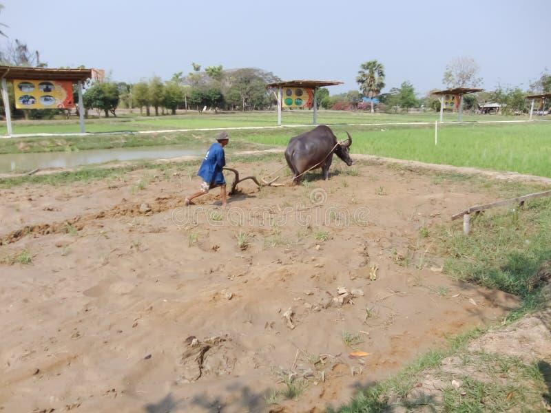O professor ensinava a aradura do búfalo fotos de stock royalty free
