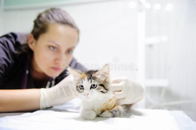 O profissional veterinário na clínica do veterinário está examinando o gatinho bonito imagens de stock