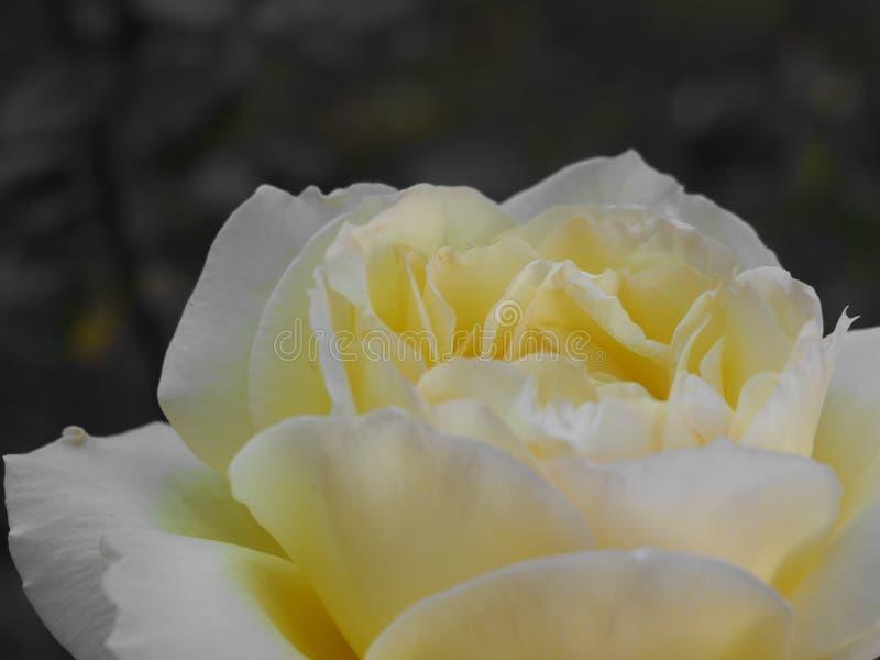 O protagonista: rosa do amarelo fotografia de stock