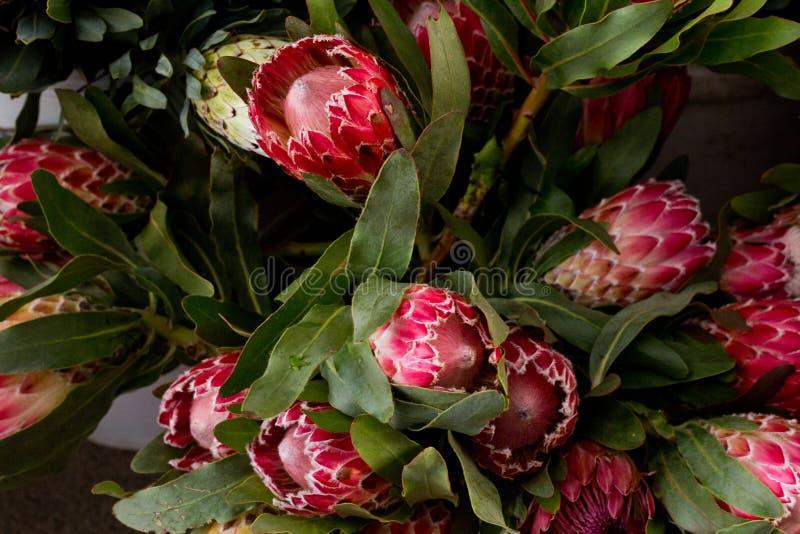 O protea, a flor nacional de África do Sul e original ao cabo ocidental fotos de stock royalty free