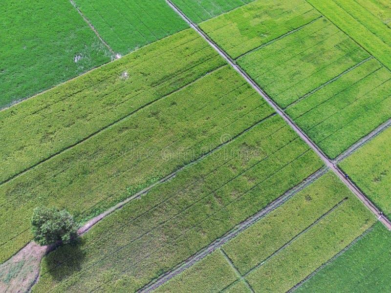 O protetor no campo do arroz, Rias foto de stock royalty free