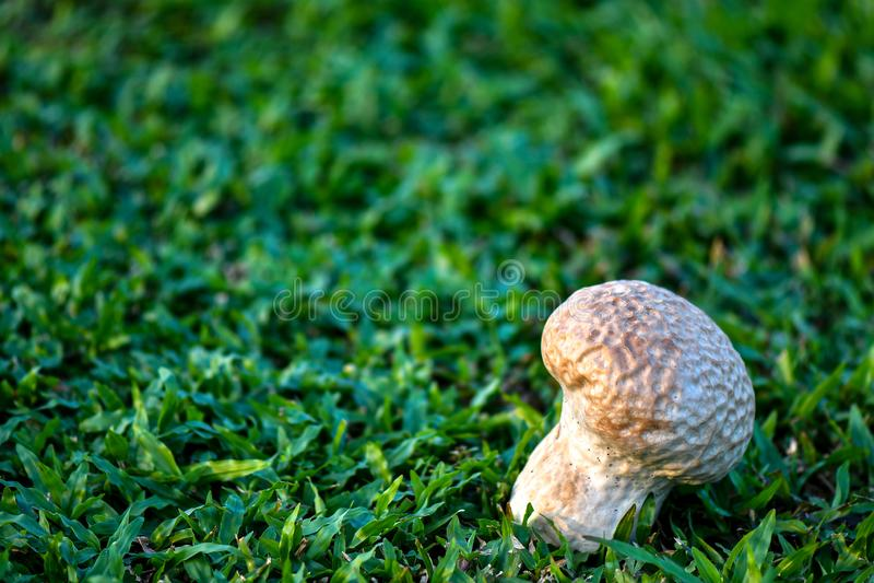 O puffball do c?rebro ? uma esp?cie de cogumelo imagem de stock