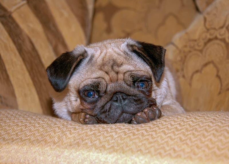 O Pug é uma raça do cão com características fisicamente distintivas de uma cara enrugado, curto-açaimada, e de uma cauda ondulada fotografia de stock