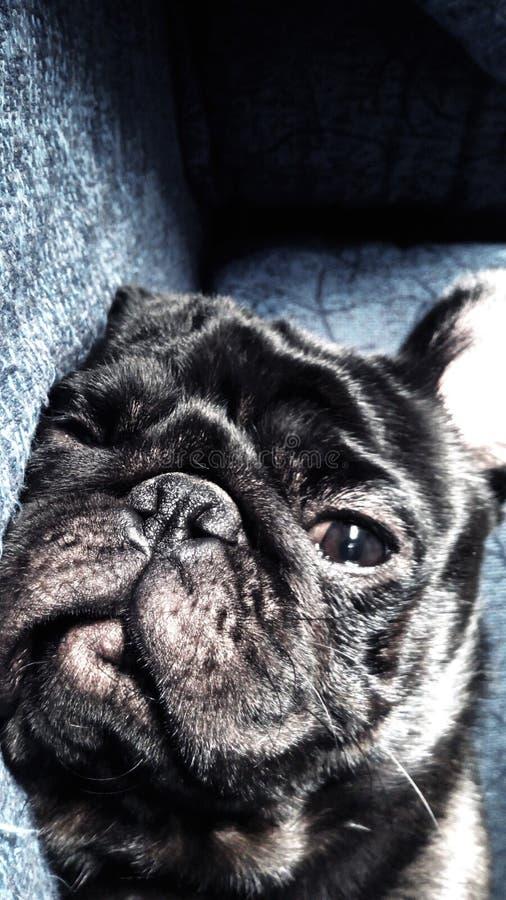 O Pug foto de stock royalty free