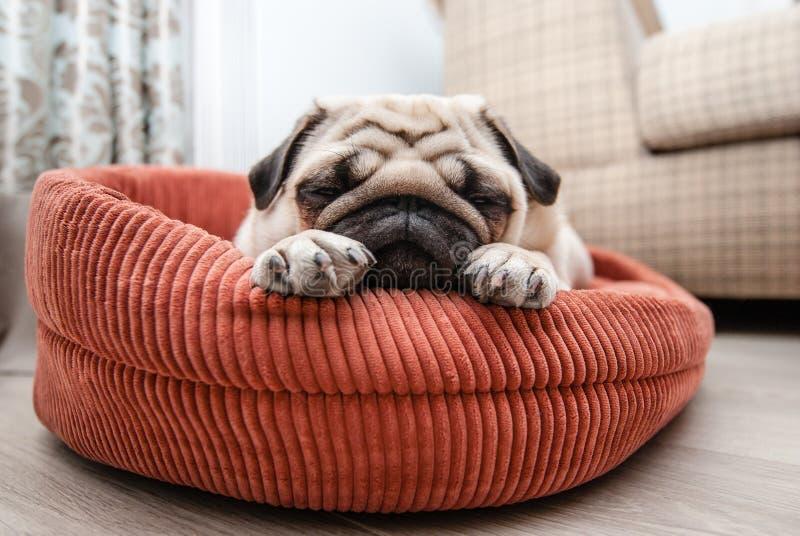 O pug bonito dorme em seu vadio foto de stock