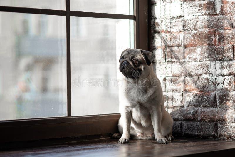 O Pug do cachorrinho é sentar-se triste na janela fotos de stock