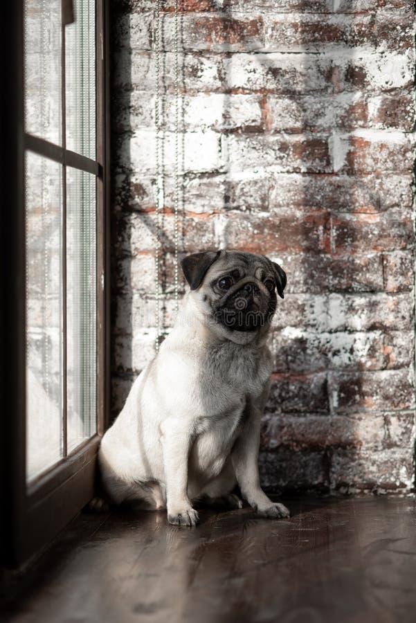 O Pug do cachorrinho é sentar-se triste na janela imagens de stock royalty free