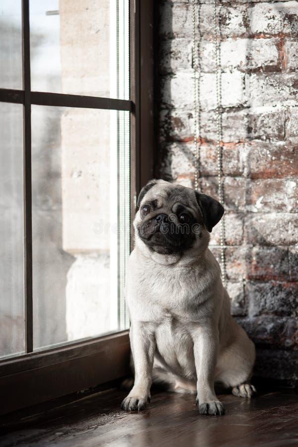O Pug do cachorrinho é sentar-se triste na janela foto de stock royalty free