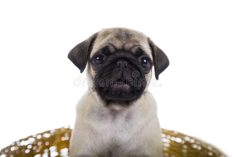O pug do cachorrinho senta-se em uma cesta imagem de stock royalty free