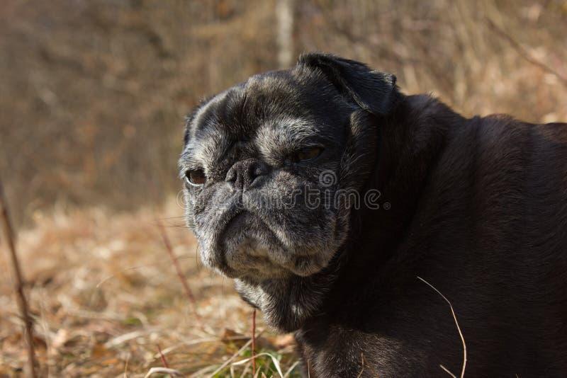 Download O Pug Esfrega Adelheid Nomeado Que Faz O Sol Do Inverno Que Relaxa Em Um Campo Imagem de Stock - Imagem de cabeça, pets: 107526345