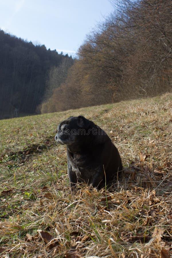 Download O Pug Esfrega Adelheid Nomeado Que Faz O Sol Do Inverno Que Relaxa Em Um Campo Imagem de Stock - Imagem de selo, canine: 107526485