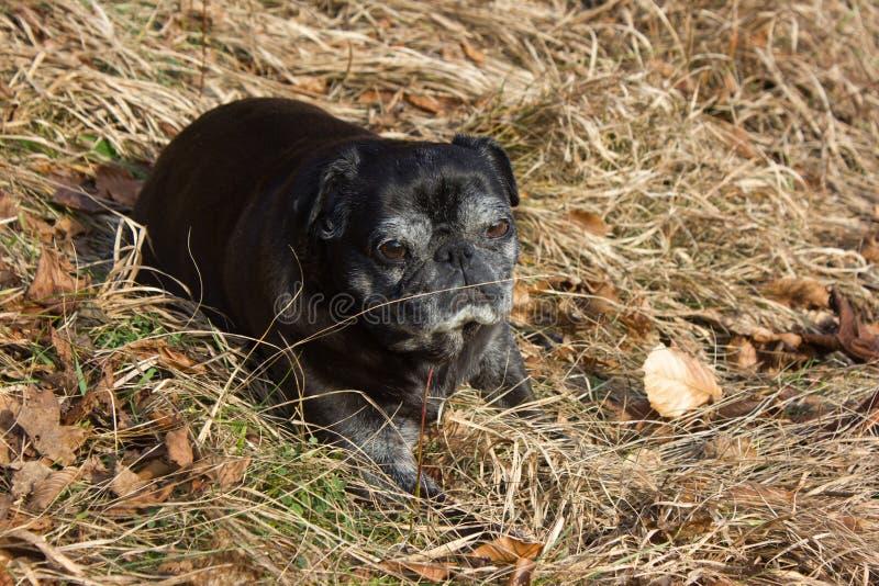Download O Pug Esfrega Adelheid Nomeado Que Faz O Sol Do Inverno Que Relaxa Em Um Campo Imagem de Stock - Imagem de bebê, cute: 107526519