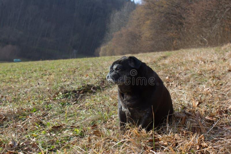 Download O Pug Esfrega Adelheid Nomeado Que Faz O Sol Do Inverno Que Relaxa Em Um Campo Imagem de Stock - Imagem de animais, mamífero: 107526573