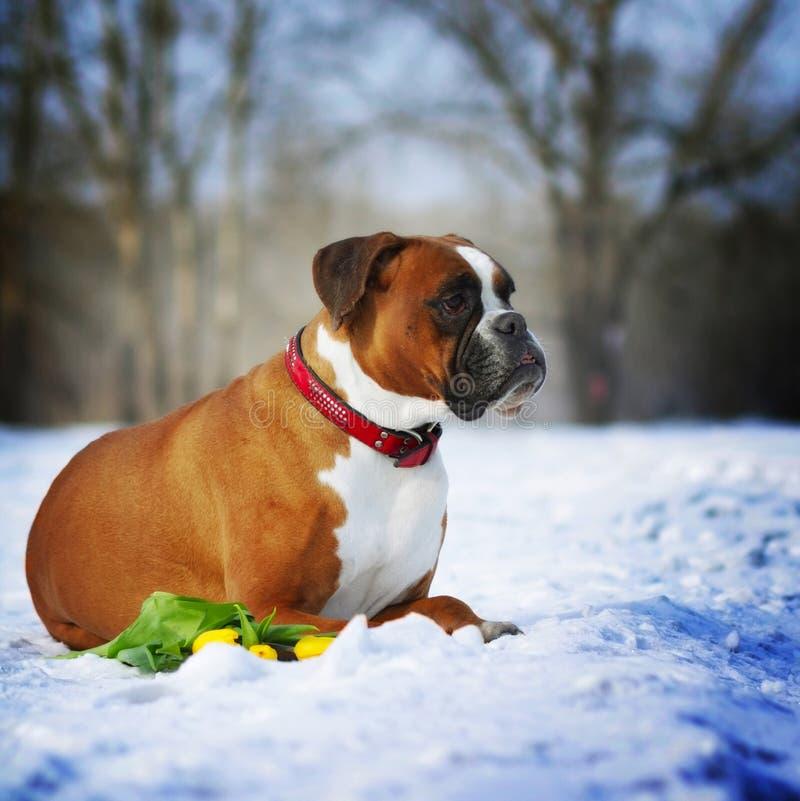 O pugilista vermelho das raças inteligentes do cão encontra-se no inverno na neve com flo imagem de stock
