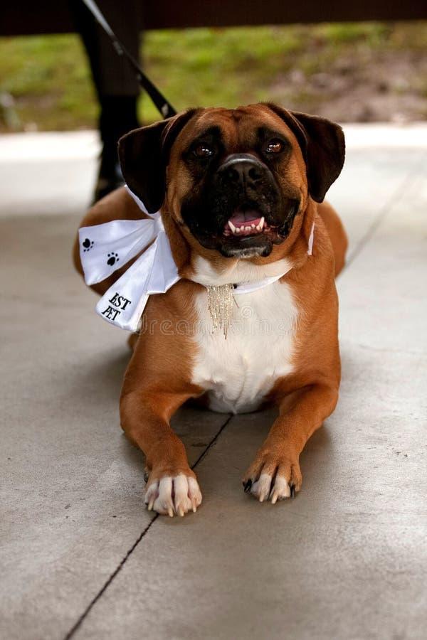 O pugilista vestiu-se acima como o melhor cão em uma cerimônia de casamento. imagens de stock