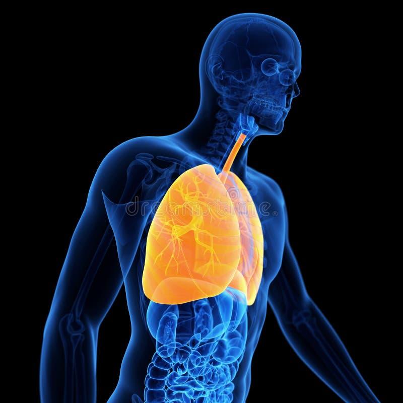 O pulmão ilustração do vetor