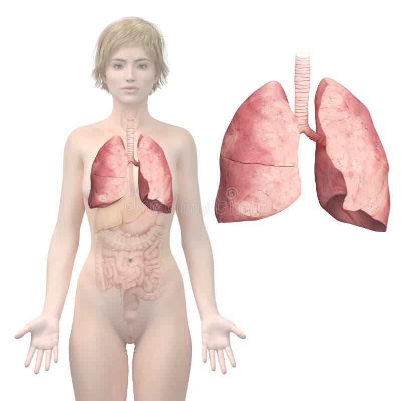 O pulmão da mulher ilustração do vetor