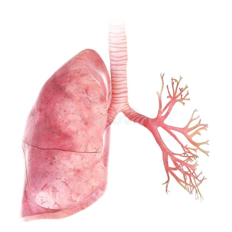 O pulmão e os brônquio ilustração do vetor