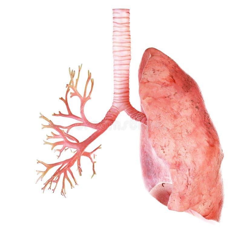 O pulmão e os brônquio humanos ilustração royalty free