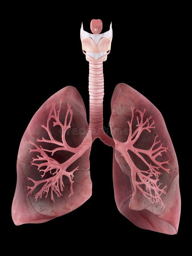 O pulmão e os brônquio humanos ilustração do vetor