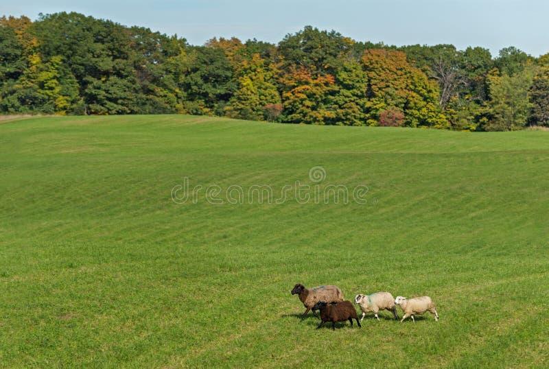 O quarteto do aries do Ovis dos carneiros corre em Autumn Field fotografia de stock